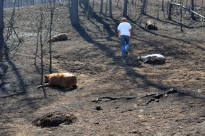 Dead livestock, devastation left in wake of Western fires