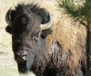 Montana agencies offer six options for bison