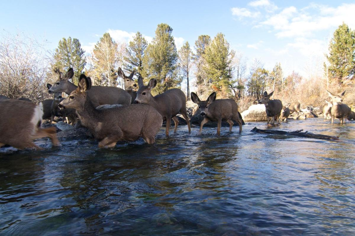 Critical area for mule deer migration permanently protected outdoors