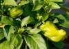 A pepper plant