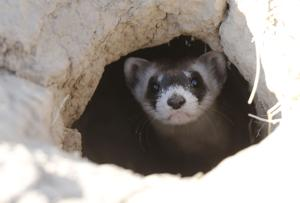 Black-footed ferrets make triumphant return to Wyoming