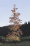 Lodgepole Pine killed by beetles