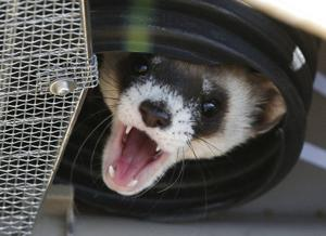 To aid ferrets, vaccine treats planned for prairie dogs