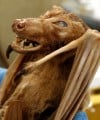 A fruit bat from Indai is more than 100 years old