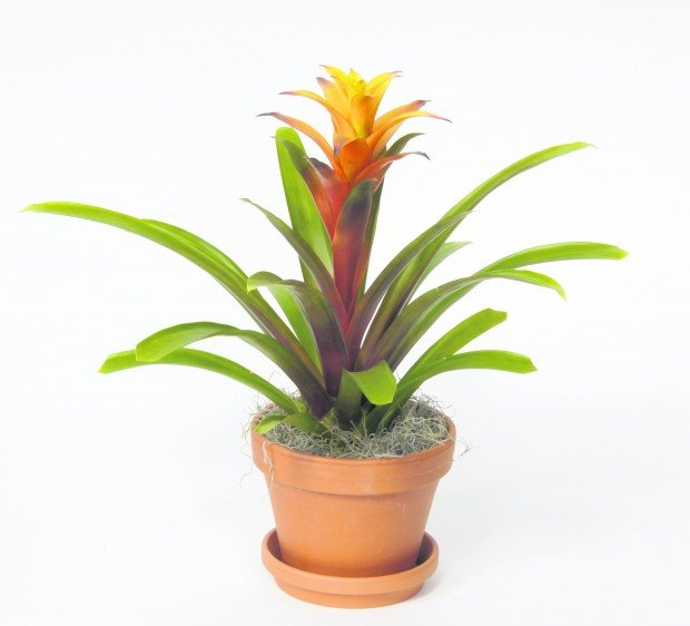 Easy to care for bromeliads make excellent house plants for Easy care indoor plants