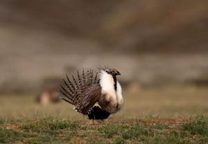 Sage grouse and the fight for the future of the Endangered Species Act