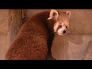 Duli the Red Panda