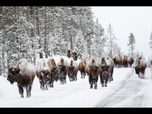 Yellowstone National Park rumor control