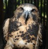 A Swainson's hawk is housed in one project
