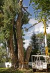 105-foot cottonwood to be cut down