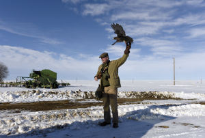 'F' is for Fort Benton, hotbed of falconry