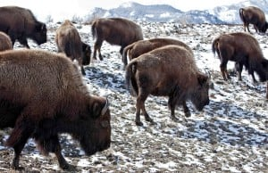 Many ideas floated for Yellowstone park bison