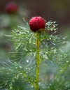 Dew clings to a fernleaf peony