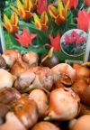Tulip bulbs are ready to be planted