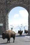 Future of Montana bison migrations headed to trial