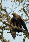 Glasgow man charged with illegally killing golden eagle