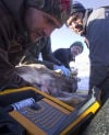 Mule deer capture