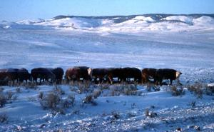 Montana ranchers prepare for the Arctic front