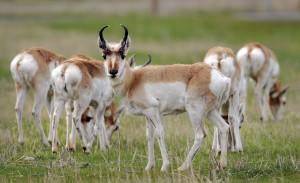 Antelope slowly rebounding in southeastern Montana
