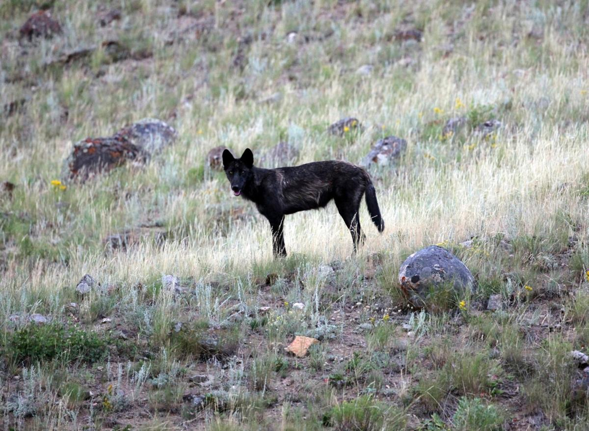 Wolf meeting