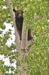 A black bear sits in a tree