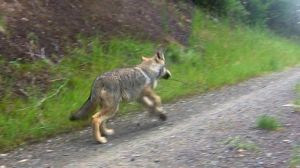 Washington reports new wolf pack found