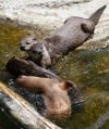 The river otter family