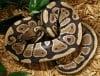 HMF041813-snake