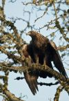 Researchers study eagles in the Big Horn Basin