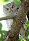 A young Eastern screech owl