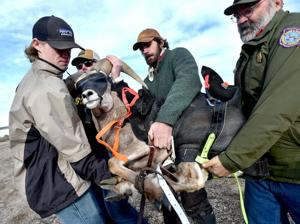 Capture operation sends bighorn sheep to new home
