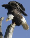 Wyoming reviewing tribal eagle permit issues