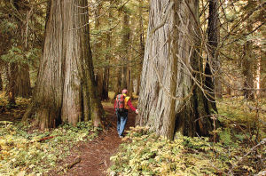 Ross Creek Giant Cedars Natural Area: An easy hike to 1,000-year-old trees