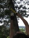 Jacque Pratt staples a pheromone pouch to a whitebark pine tree