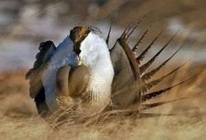 Hunting reveals good year for Wyoming sage grouse