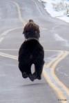 Bear v. Bison