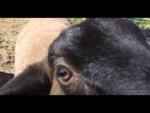Head-butting Sheep