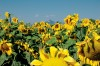 Sunflower crop expanding in northern Wyoming