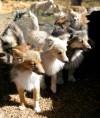 Shetland sheepdog/Pomeranian mix dogs