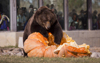 ZooMontana's grizzly bears receive a 770 pound treat