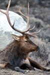 FWP hears debate over how to stop spread of brucellosis in elk