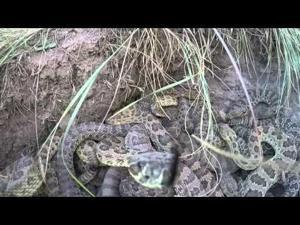 Hi-Line rattlesnake enthusiast's latest video goes viral