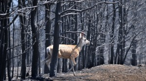 Washington's largest mule deer herd threatened by fires