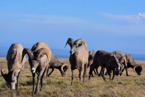 MSU, FWP collaborate on bighorn sheep project