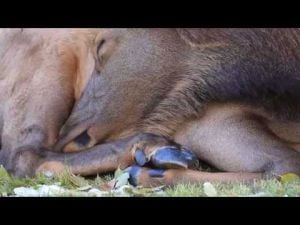 Video: Yellowstone elk siesta