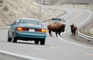 Bison to be pushed back into Yellowstone this week