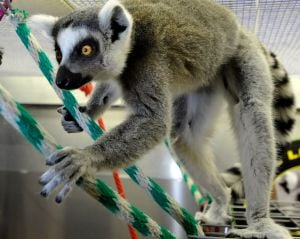 Pint-size primates: Racing lemurs causing a stir at MontanaFair