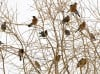Robins flying north sooner, researchers say
