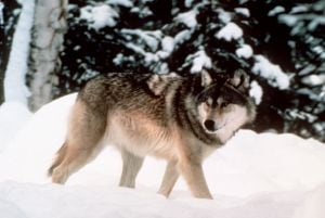 Gov. Mead eyes congressional fix on wolf delisting