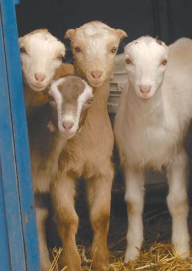 Amazoncom  Silly Goats  Lavender Vanilla Goat Milk